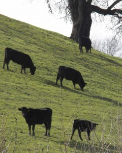 Cows on a hillside eating green grass.