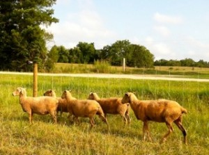 Grassfed lambs grazing at Broad River Pastures, a sustainable farm.