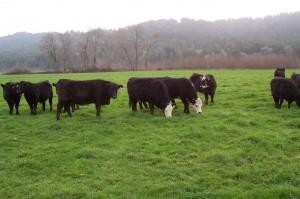 Humboldt Grassfed Beef cattle grazing