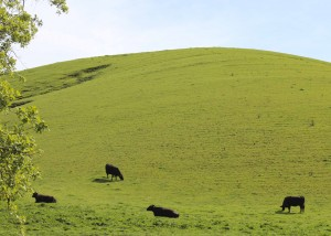 Cows grazing on grass, their natural food.