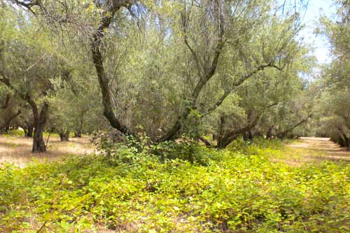 Magnificent olive trees thriving on the rich soil at Chaffin Family Orchards.