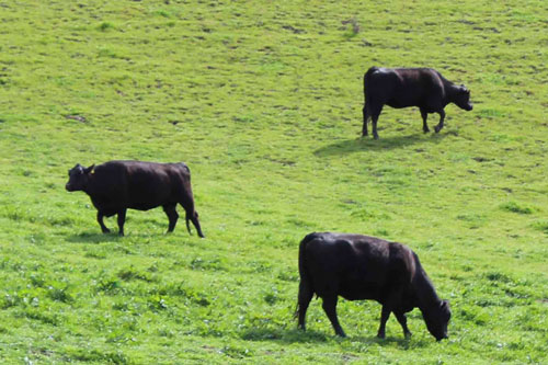 Grass is the natural feed for cattle and grass-fed beef is delicious!