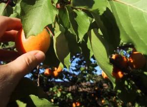 Apricot picking 1