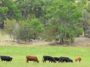 Happy cows grazing.