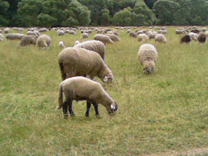 Free Sheep Grazing for Wool in New Zealand